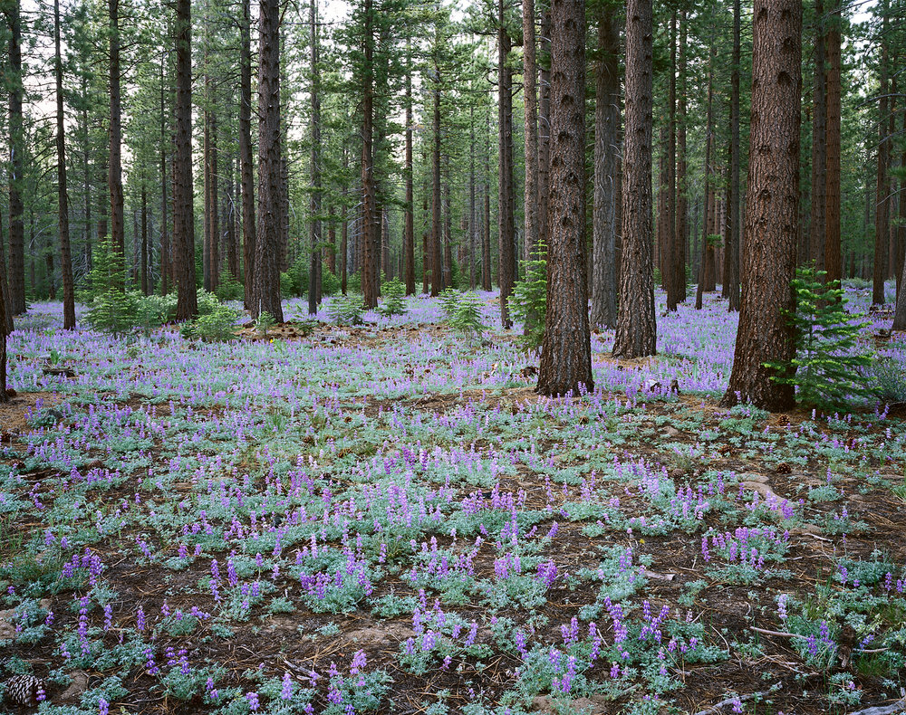 Dwarf Lupine and Pine Forest, Lake Tahoe