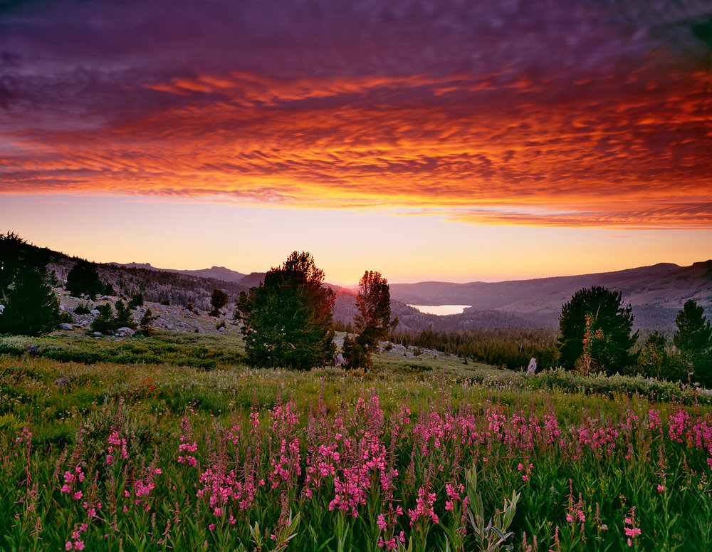 Fireweed Sunset