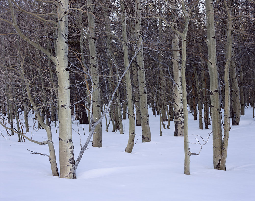 Quiet Aspens and Snow