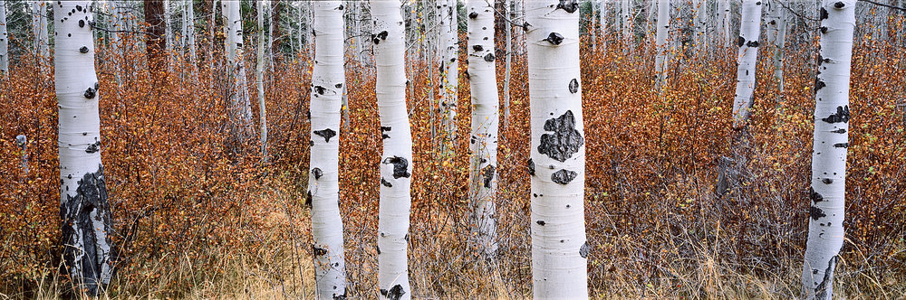 Aspen Grove and Rusty Foliage Panorama