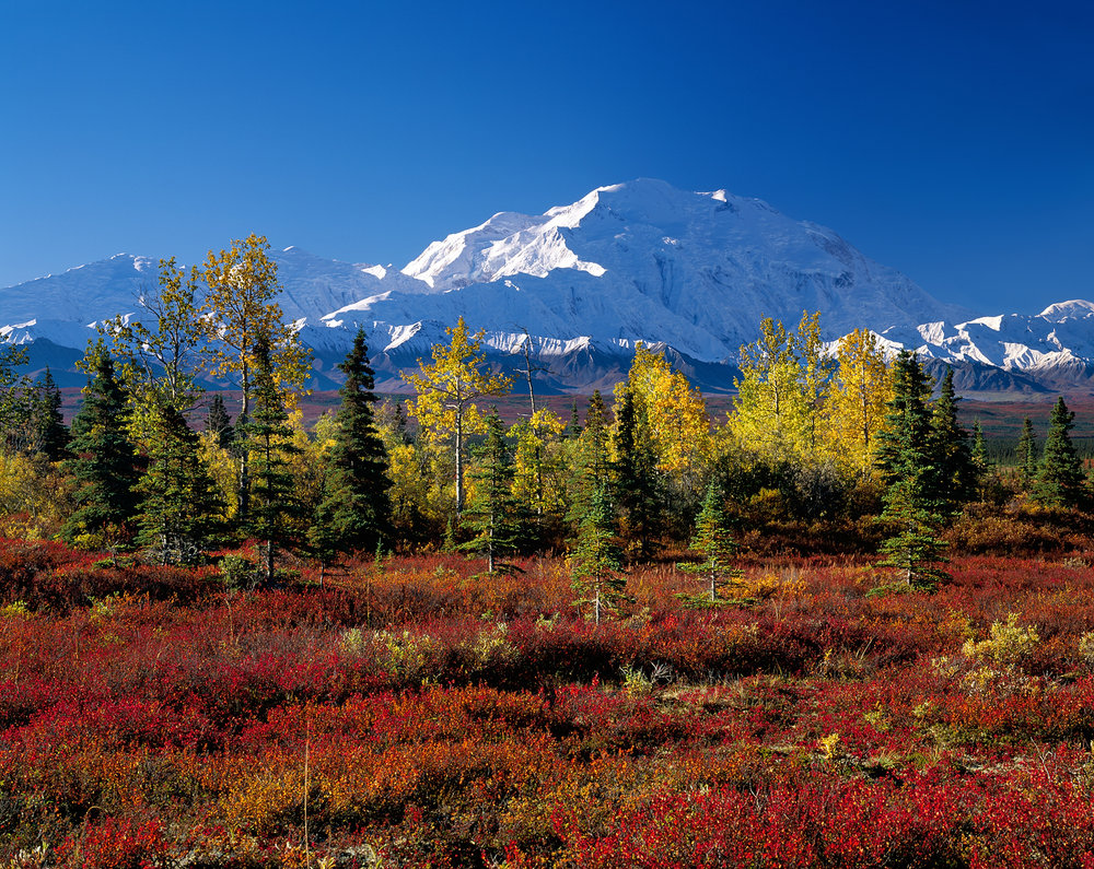 Fall Trees, Denali