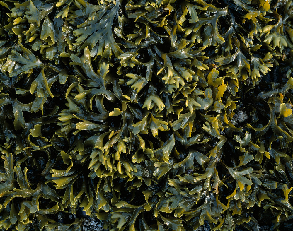 Crab Claw Kelp, Glacier Bay, Alaska