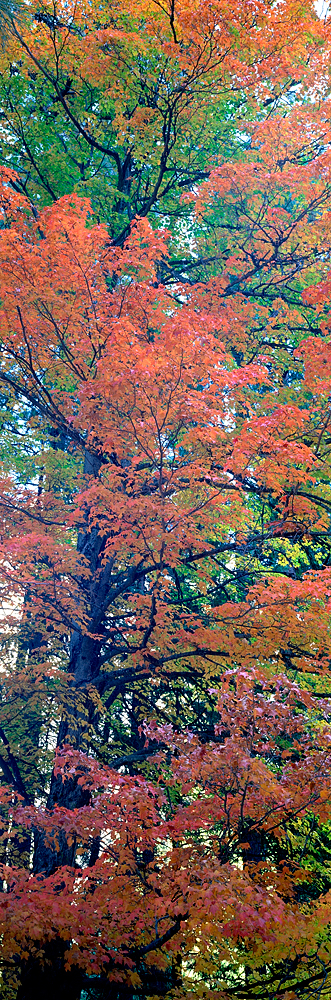 Maple Detail Panorama, Yosemite Valley