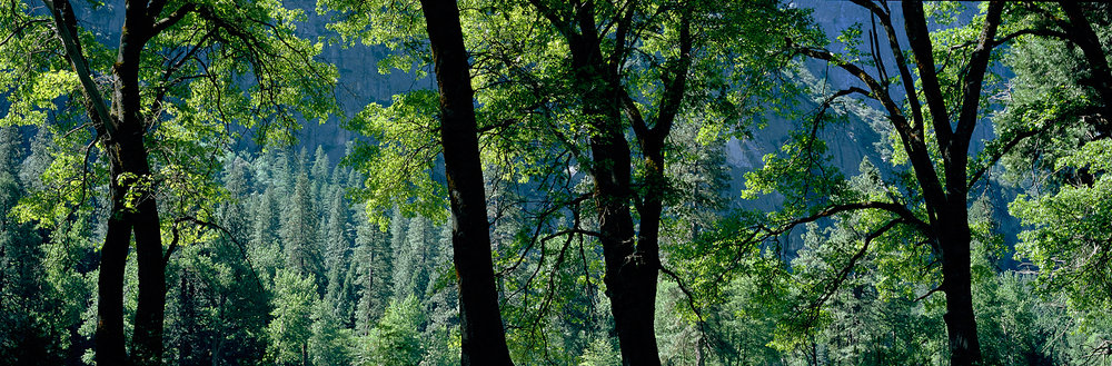 Oak Tree Silhouettes, Yosemite Valley