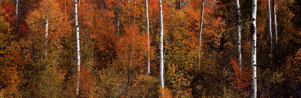 Fall Maple and Aspen Panorama