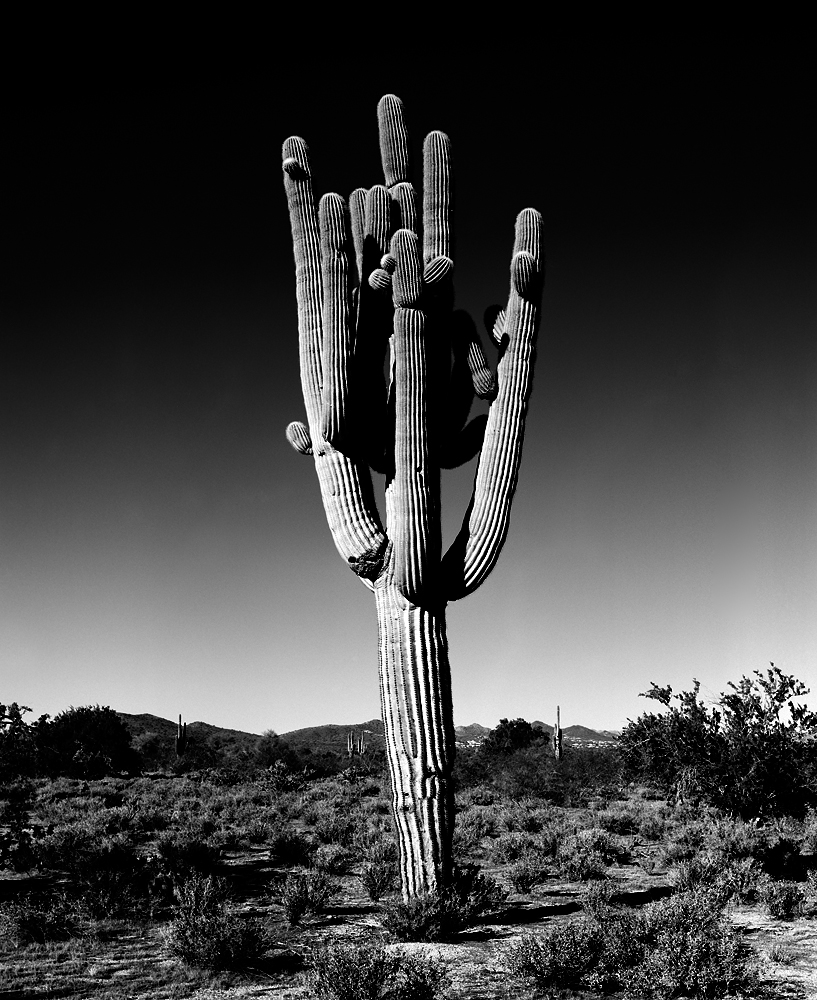 Saguaro V Black & White, Arizona