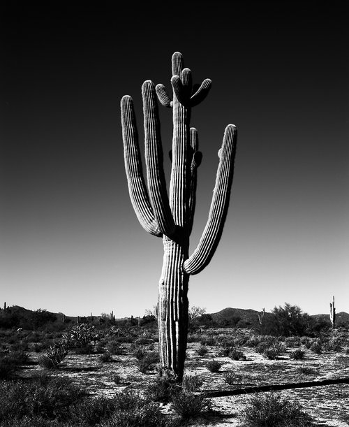 Saguaro viii black white arizona
