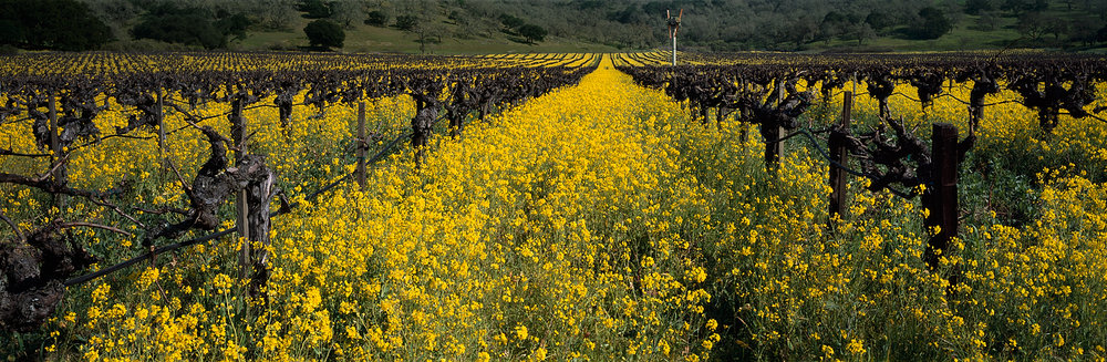 Mustard and Vineyard Panorama, Wine Country, California