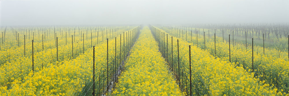 Mustard and Fog Panorama, Wine Country, California