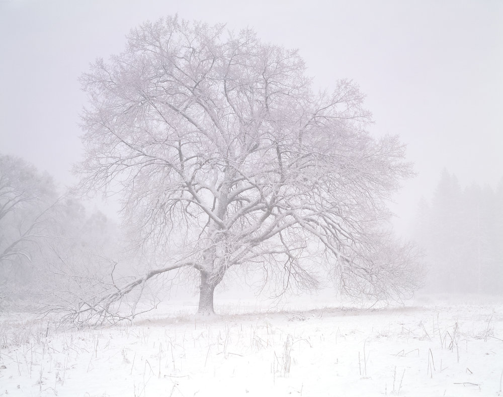 Elm Tree, Blizzard, Yosemite Valley, California