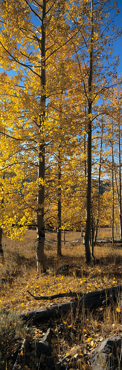 Hope Valley Aspens Vertical Panorama