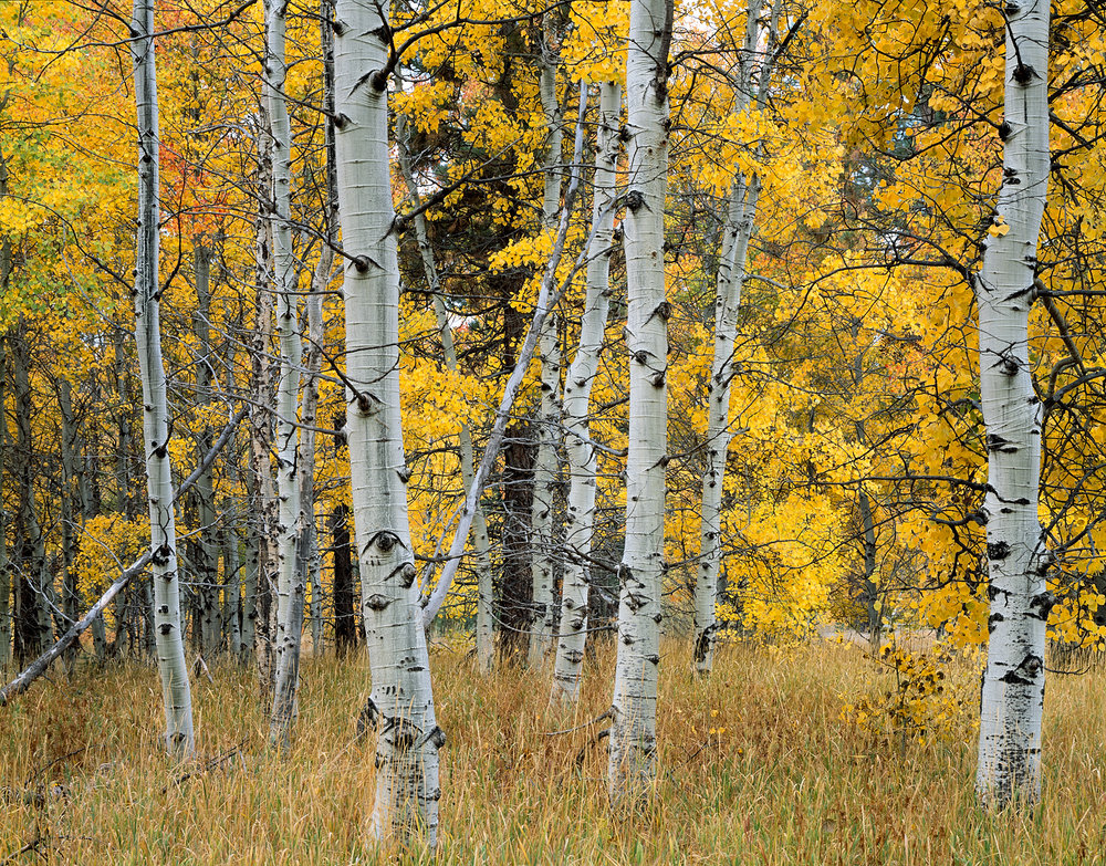 Yellow Aspens, Fall