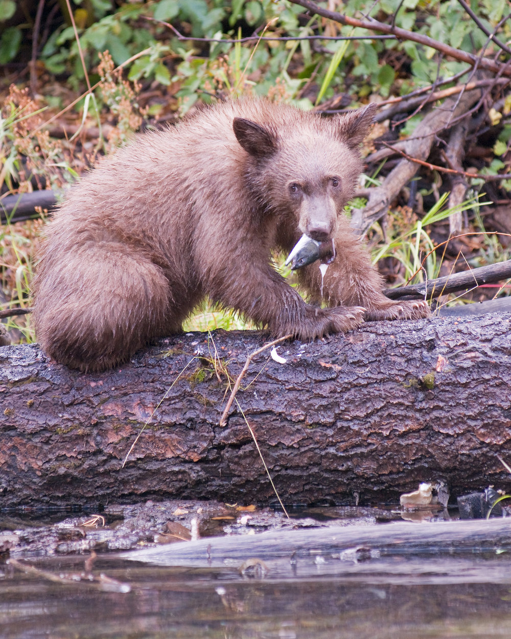 Bear Cub with Salmon Head