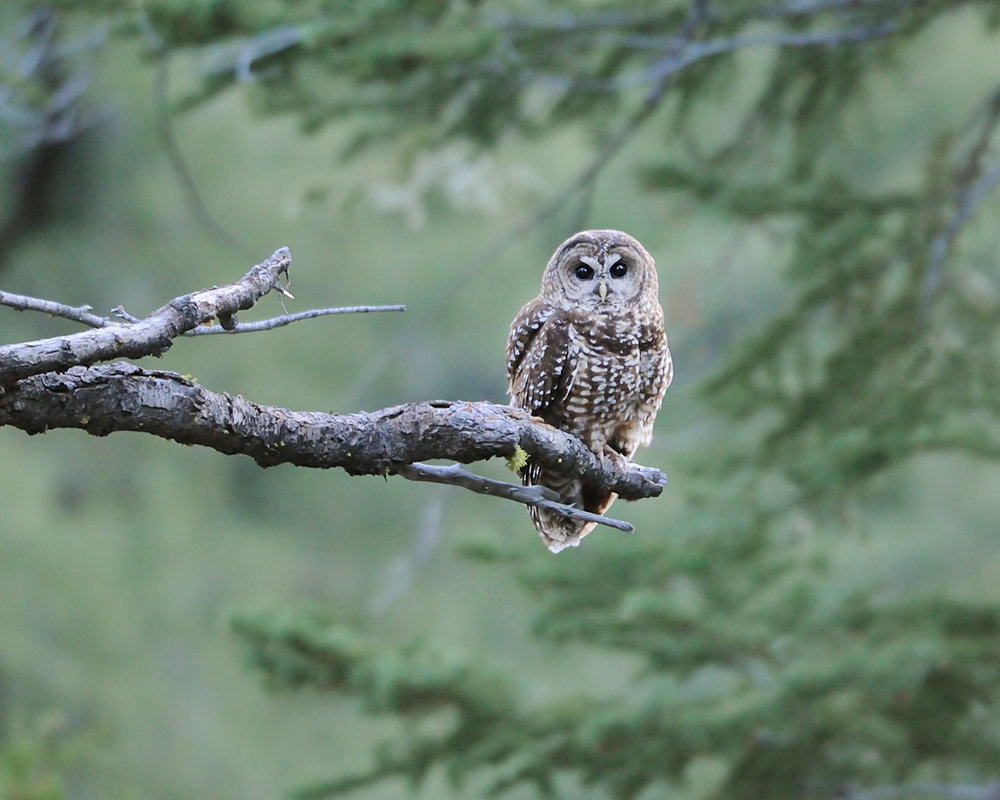 Spotted Owl I, Lake Tahoe