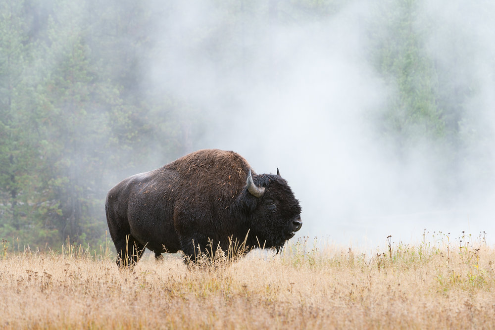Bison in Steam, Yellowstone National Park, Wyoming