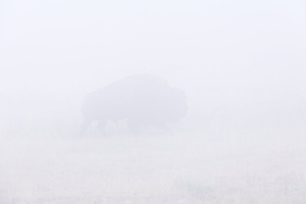 Bison in Thick Fog, Dunraven Pass, Yellowstone National Park, Wyoming