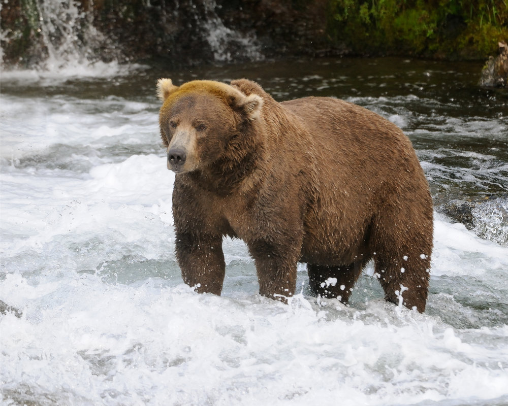 Big Brown Bear Fishing, Brooks River, Katmai, Alaska