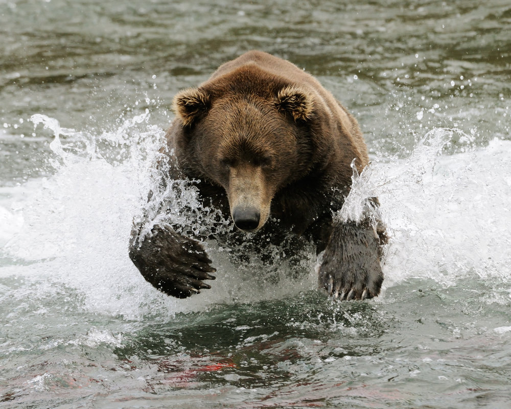 Brown Bear Diving for Salmon, Brooks River, Katmai National Park, Alaska