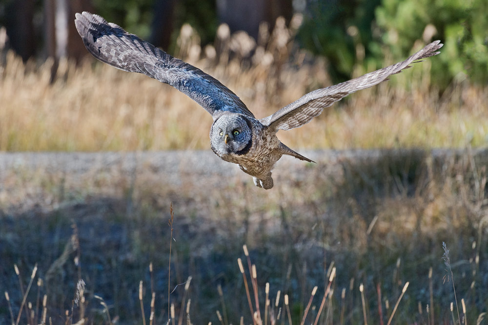Great Grey Owl Flying, Yellowstone National Park, Wyoming