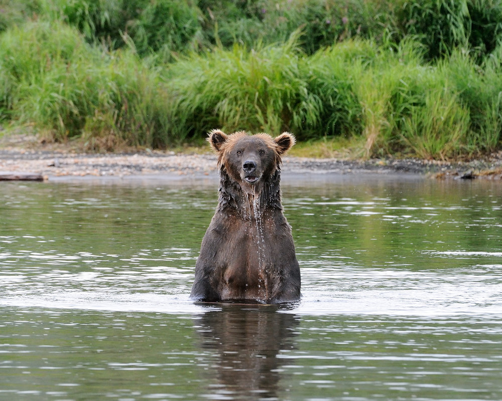Mama Griz Standing in River, Brooks River, Katmai National Park, Alaska