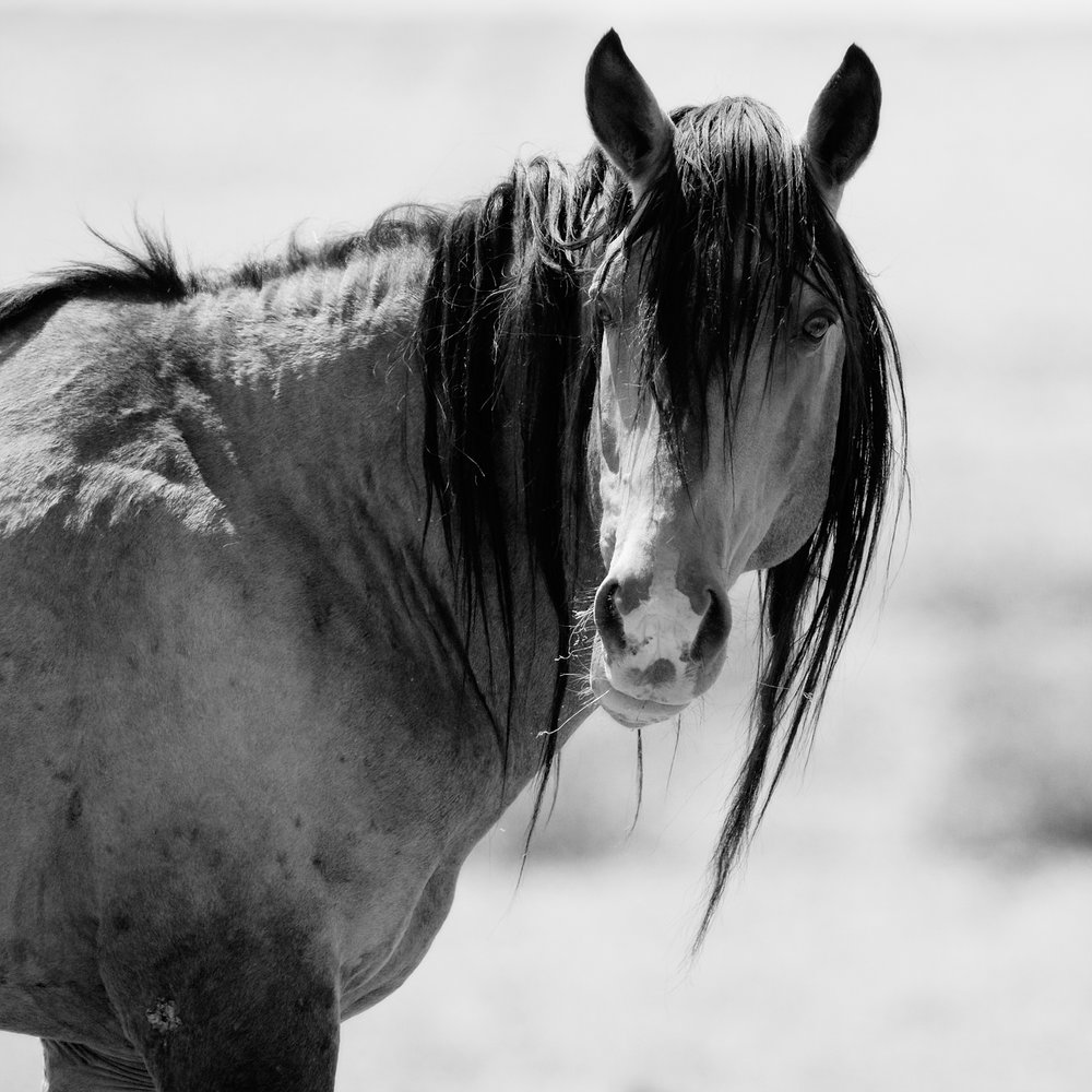 Wild Stallion Portrait, Nevada Desert