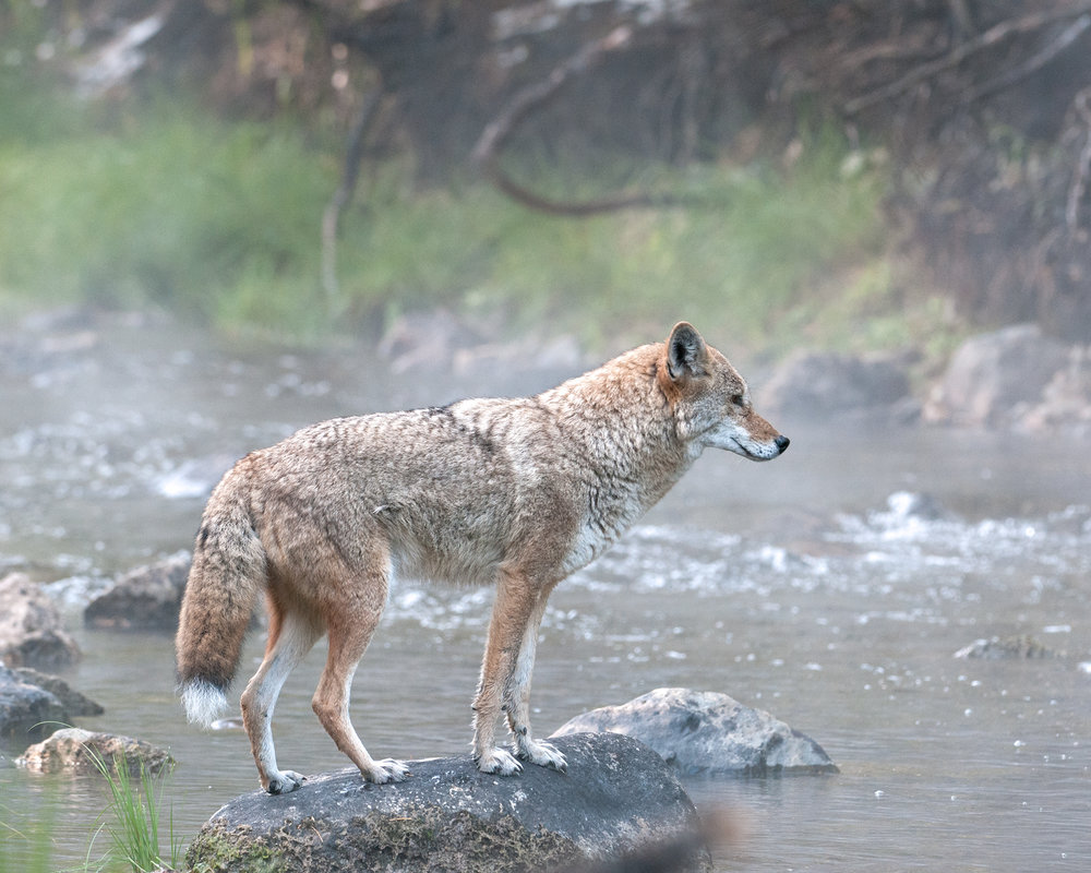 Alpha Coyote in Mist, Lake Tahoe