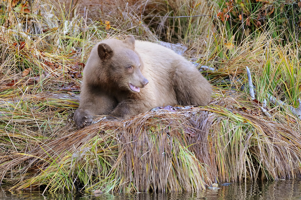 Blond Bear Laying in Grass with Salmon