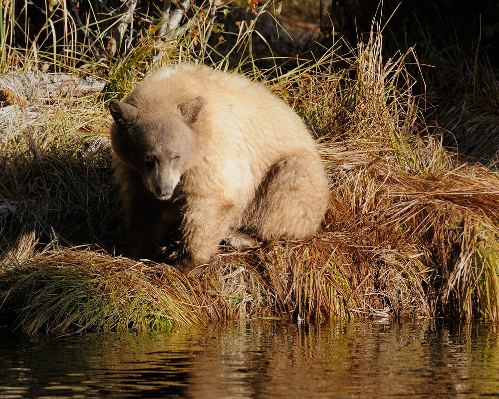 Blond Bear Reflecting