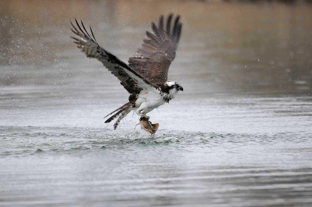 Osprey and Catfish, Lake Tahoe, Lake Tahoe