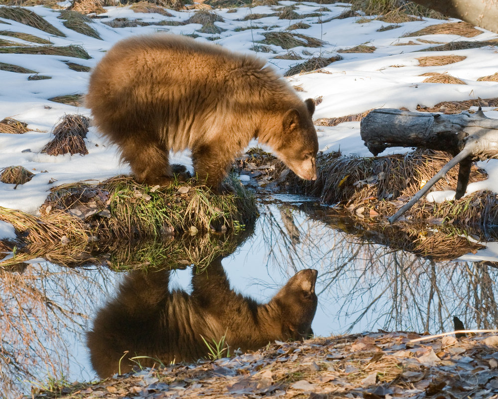 Reflected Bear, Lake Tahoe