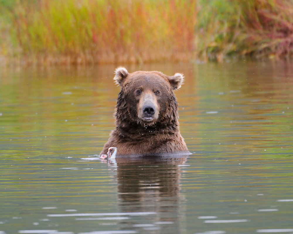 Brown Bear in Fall Reflection, Brooks River, Katmai National Park, Alaska