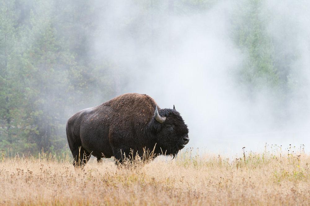 Bison in Geyser Steam, Yellowstone National Park, Wyoming