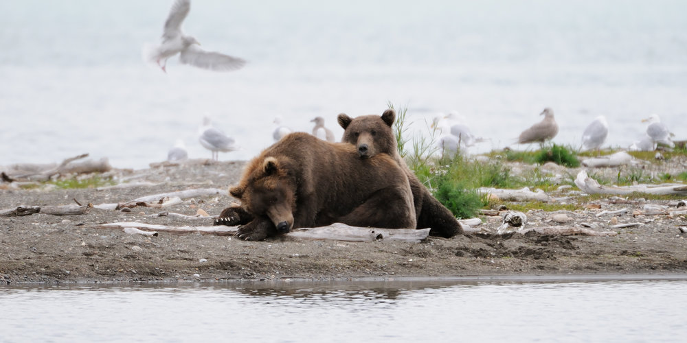 Brown Bear Cub and Sow Napping, Katmai National Park, Alaska