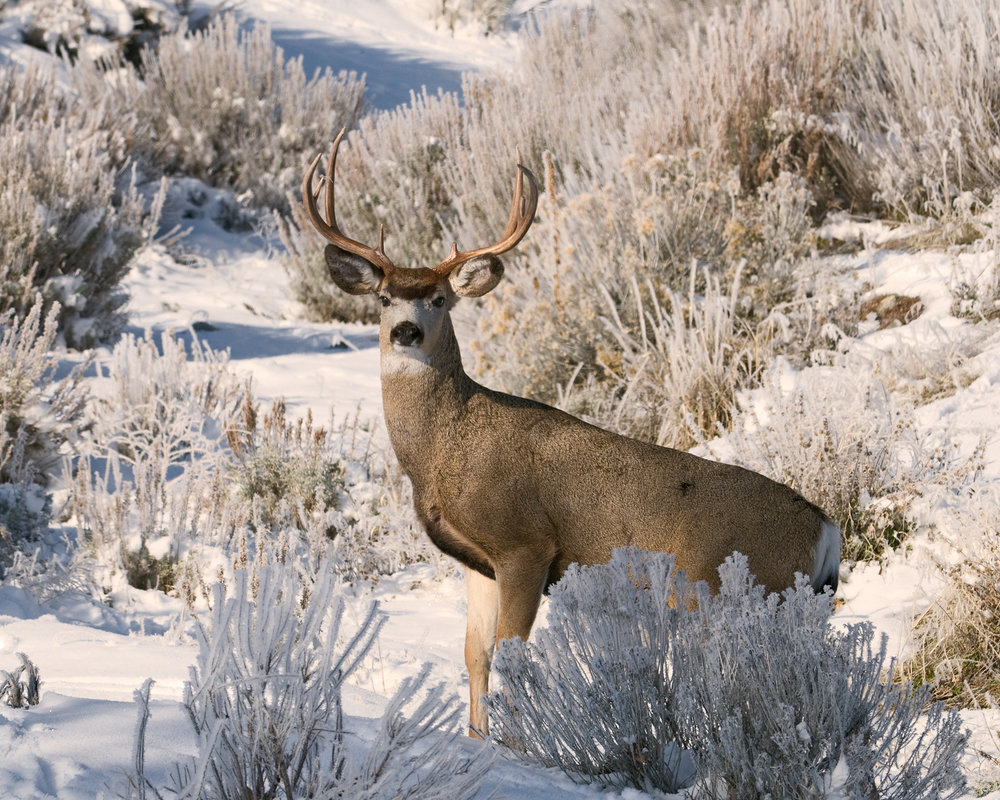 Buck in Snow, Foothills, Carson Valley