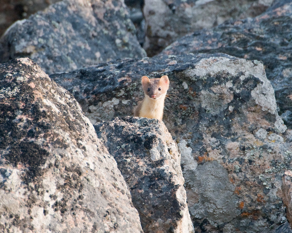 Ermine in Rocks, Yellowstone National Park, Montana