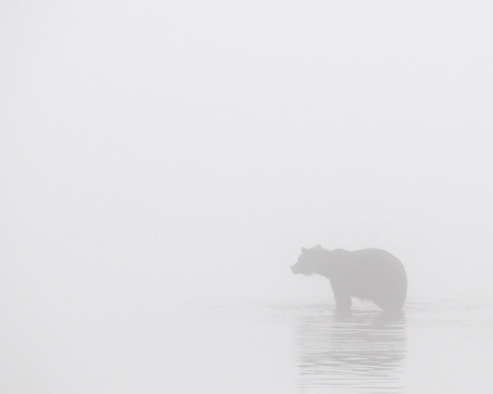 Ghost Bear, Brooks River, Katmai National Park, Alaska