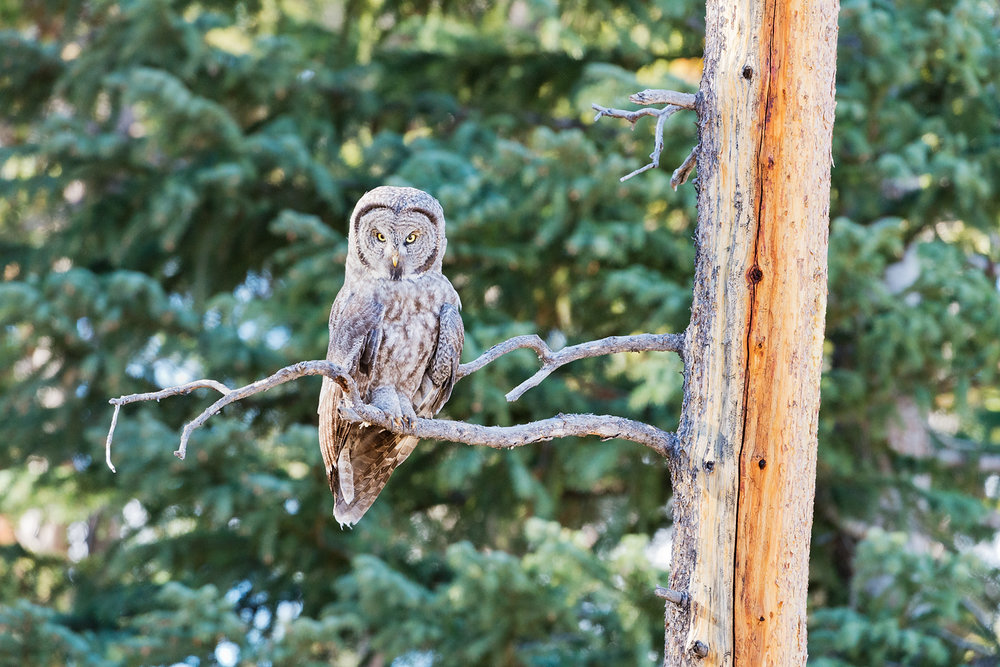 Great Grey Owl on Snag, Yellowstone National Park, Wyoming