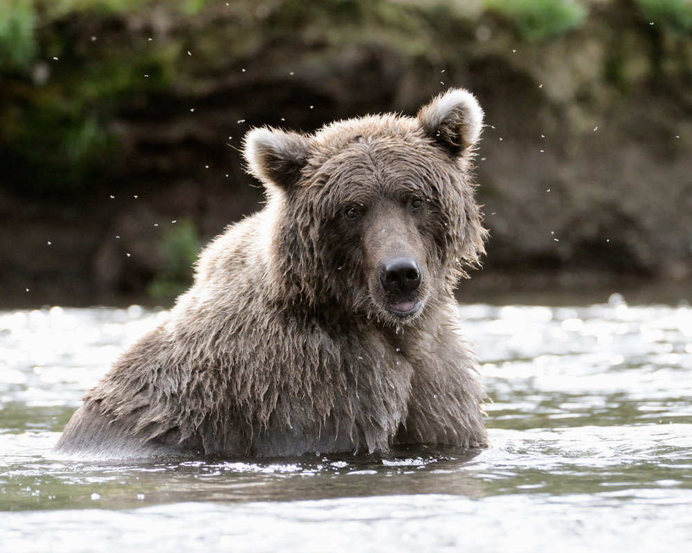 Grey Bear Portrait, Brooks River, Katmai National Park, Alaska