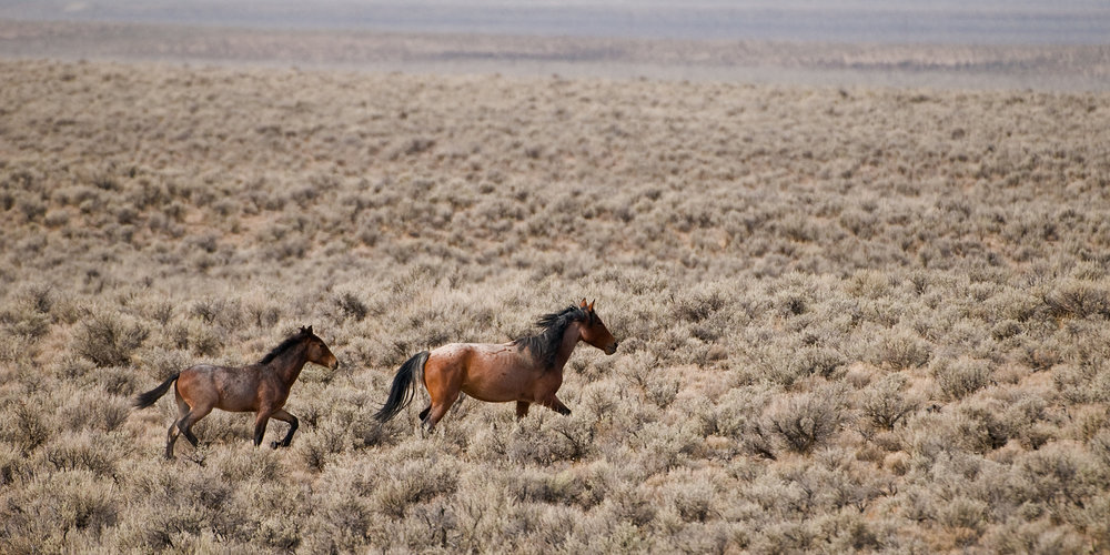 Wild Mare and Colt Running, Nevada Desert