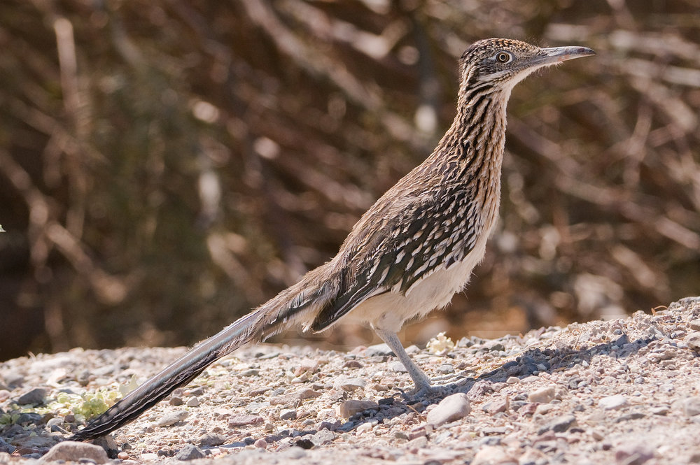 Roadrunner, Death Valley National Park, California