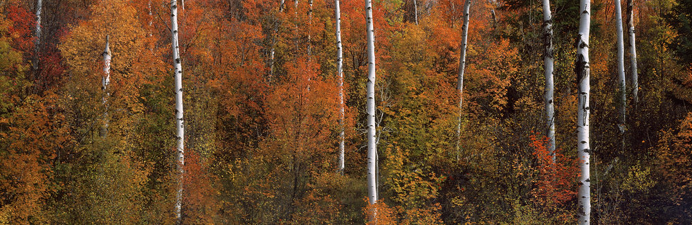 Fall Maple & Aspen pano.jpg