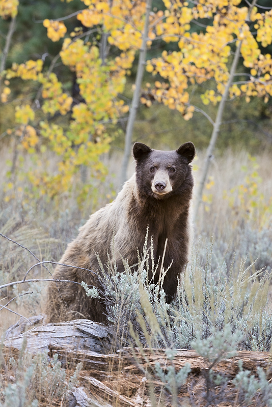 Blond Bear in Fall Color & Sage