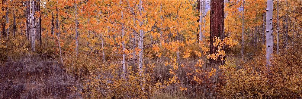 Autumn Glow, Aspens, Lake Tahoe.jpg