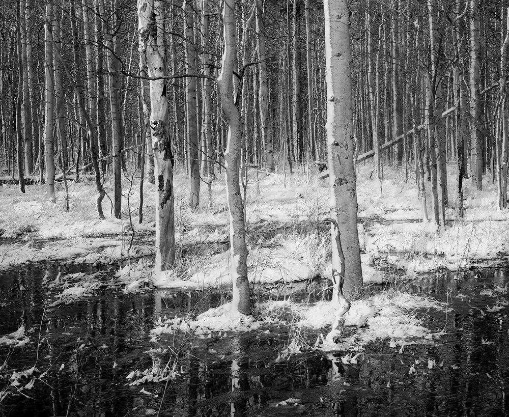 Aspens, Snow and Reflections Black and White