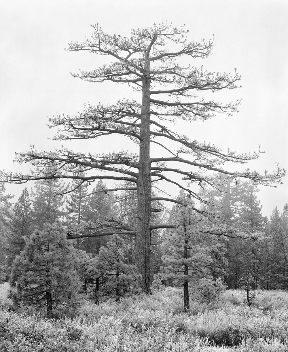 Sugarpine in Fog 4x5 BW.jpg