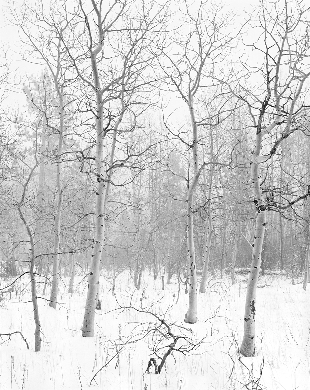 Aspens in Blizzard