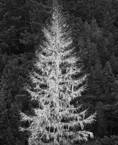Ghost Tree, Northern California