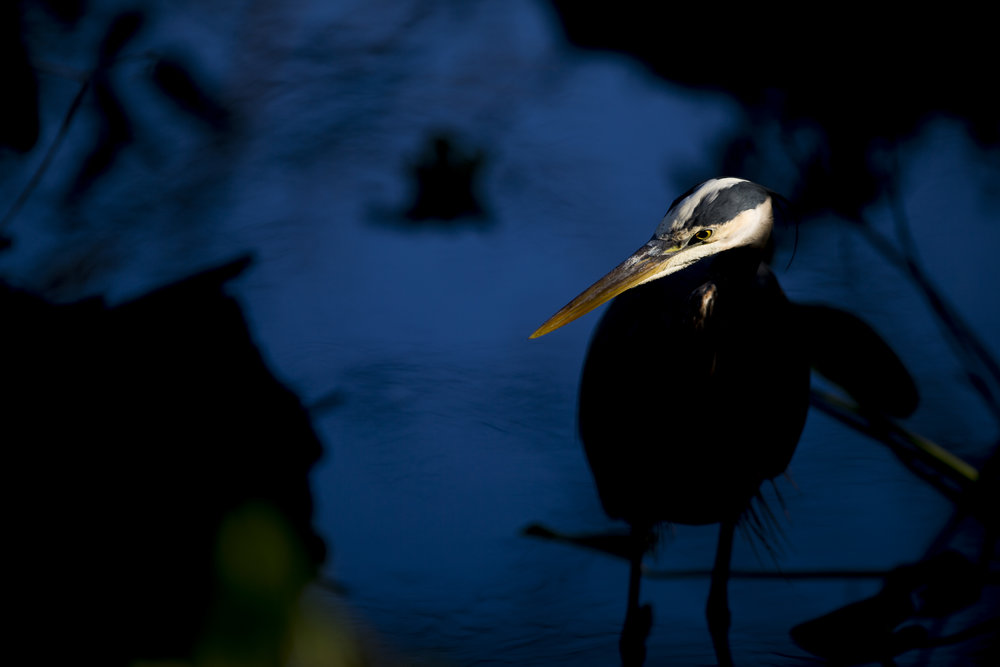 A Great Blue Heron peaks its head into a shaft of light while searching for a morning snack amongst the dense foliage at Audubon Corkscrew Swamp Sanctuary Thursday, March 22, 2018 in Naples.