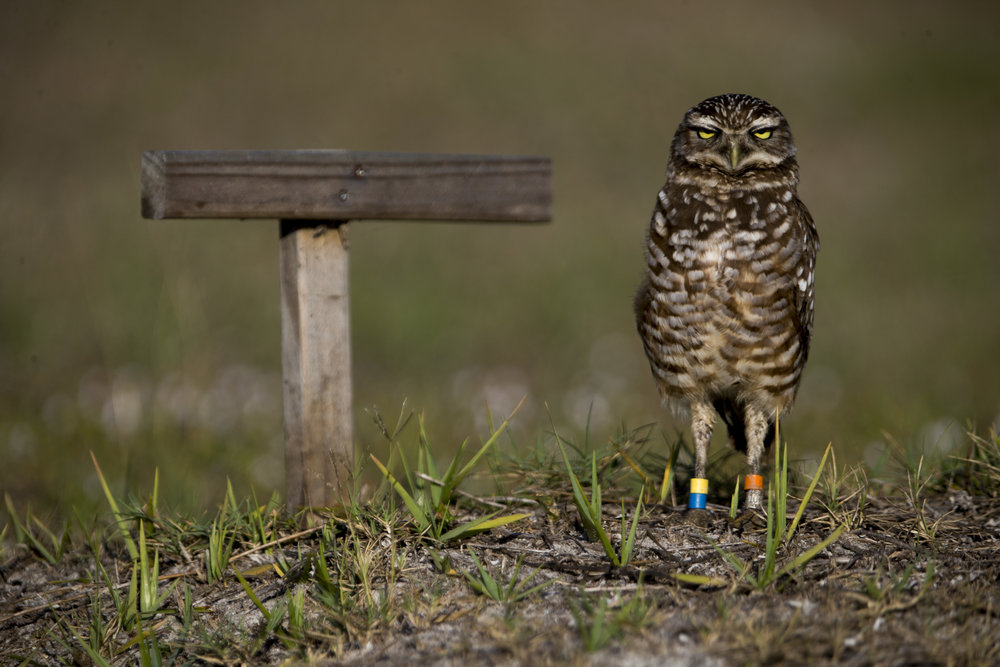 A disgruntled-looking burrowing owl, with multiple colored bands around its legs, scans its surroundings outside of its burrow Thursday, March 1, 2018 in Marco Island, Fla. The bands are used to track the protected animals.