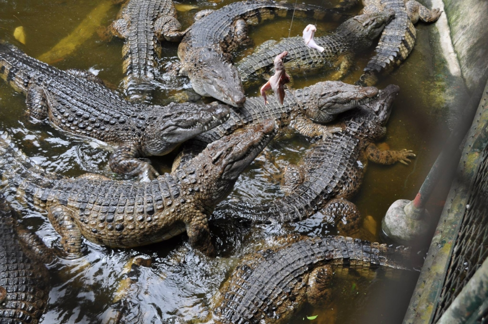Crocodiles eating raw chicken